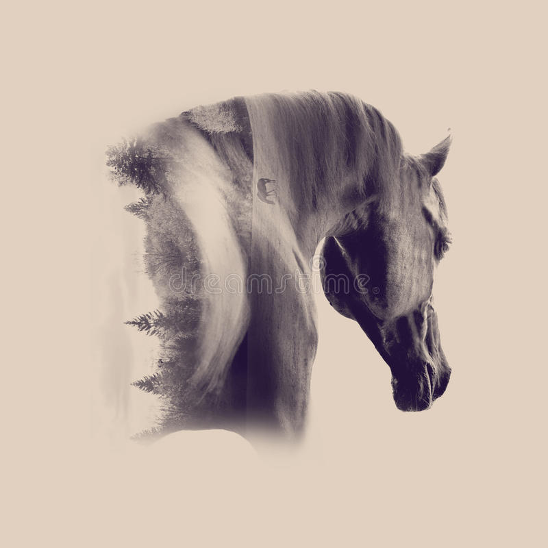Black arabian stallion portrait closeup against desert background. The black arabian stallion portrait closeup against desert background double exposure stock images
