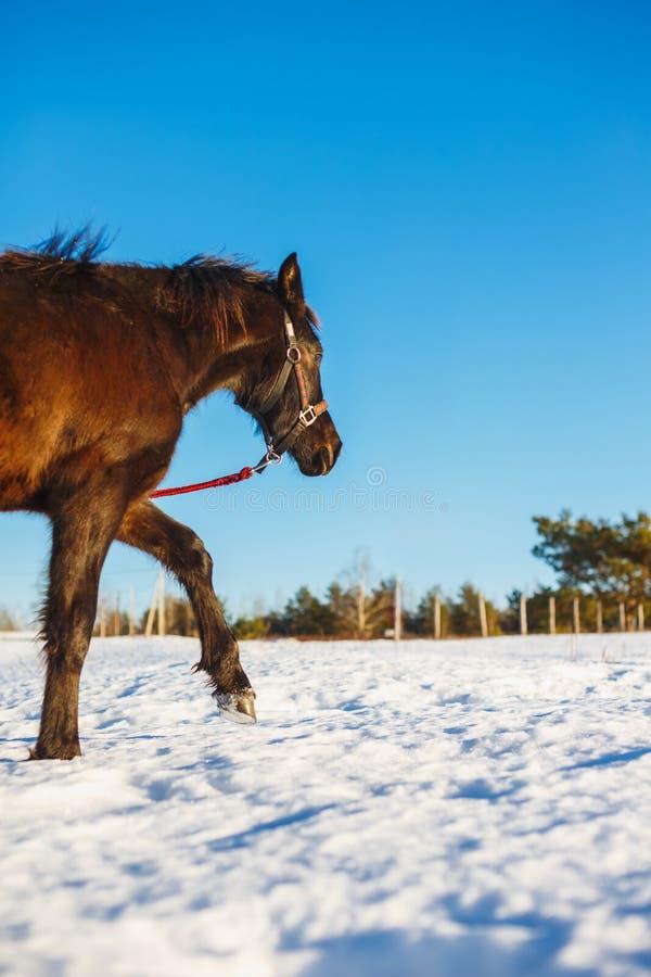 Black Arabian stallion walking in the snow in a field. Black Arabian stallion walking in a field royalty free stock photo