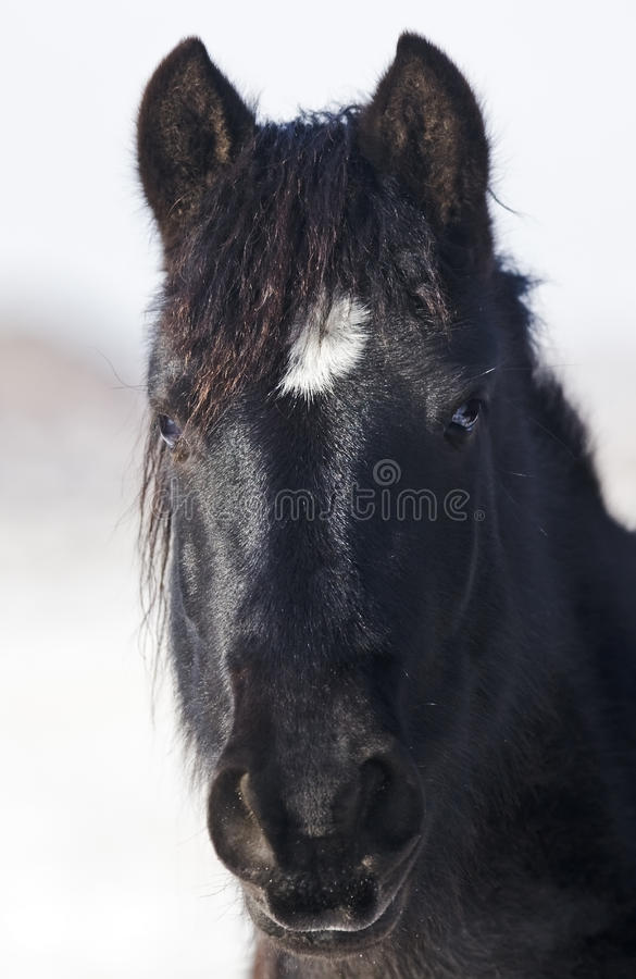 Download Black As Coal Wild Mustang Stallion Stock Image - Image of mare, countryside: 13219037