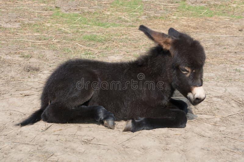 Black baby burro donkey lying on the ground. Sunny day. stock images