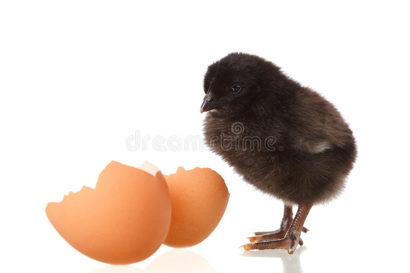 Black baby chicken and egg on white royalty free stock photo