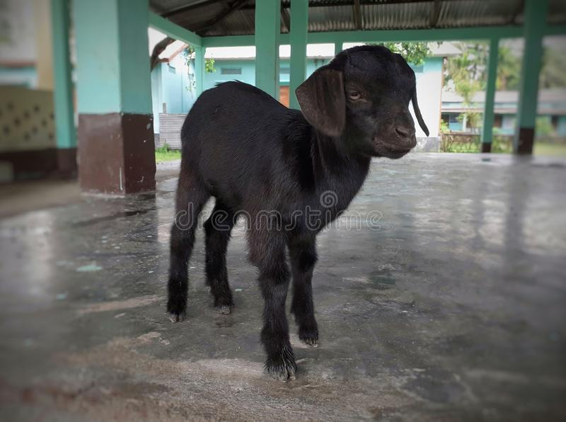 Black baby goat standing on the floor royalty free stock photography
