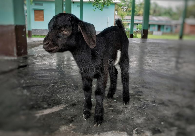 Black baby goat standing on the floor stock photos
