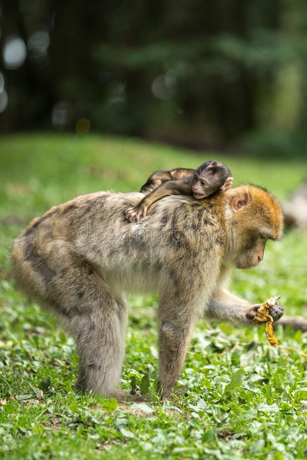 Black Baby Monkey on Top of Brown Monkey Standing on Green Grass stock photos