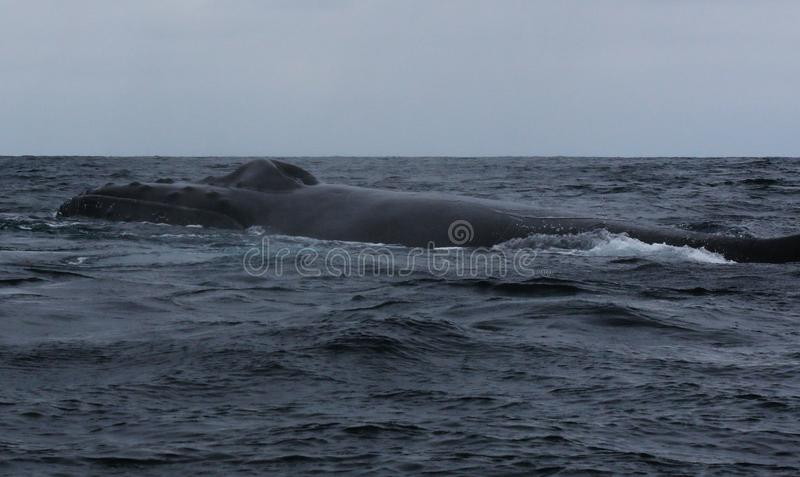 The black back and dorsal fin and blowhole of humpback whale, megaptera novaeangliae. Black back and dorsal fin and blowhole of humpback whale, megaptera stock photography