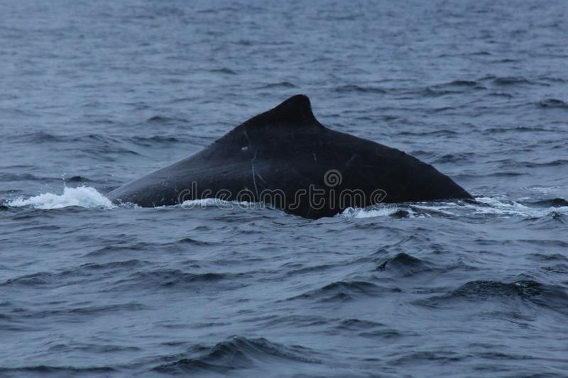 The black back and dorsal fin of humpback whale, megaptera novaeangliae, probably a male because of the scars. Black back and dorsal fin of humpback whale royalty free stock photography