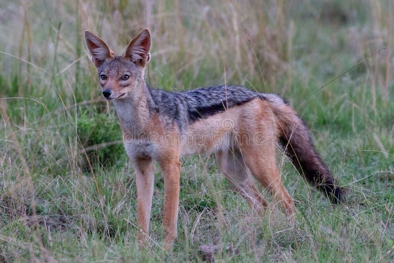 Black-backed狐狼,肯尼亚,非洲 图库摄影