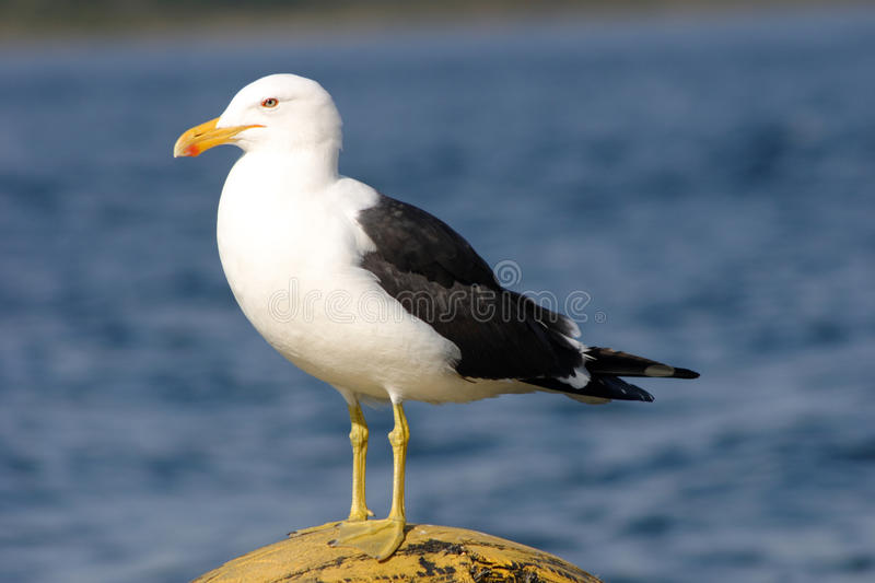 Download Black backed gull stock image. Image of nature, bird - 33719235