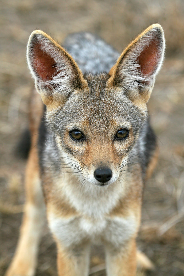 Download Black-backed Jackal stock photo. Image of wild, canis - 2230918