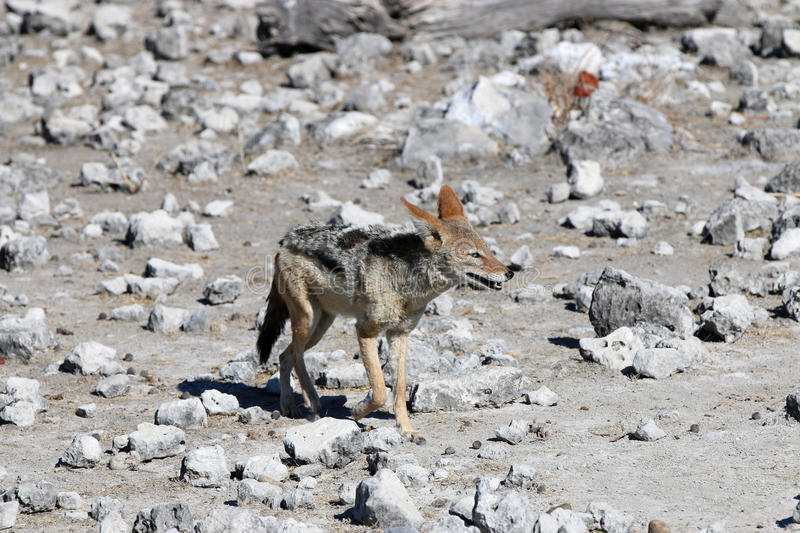 Black-backed Jackal Stock Photography