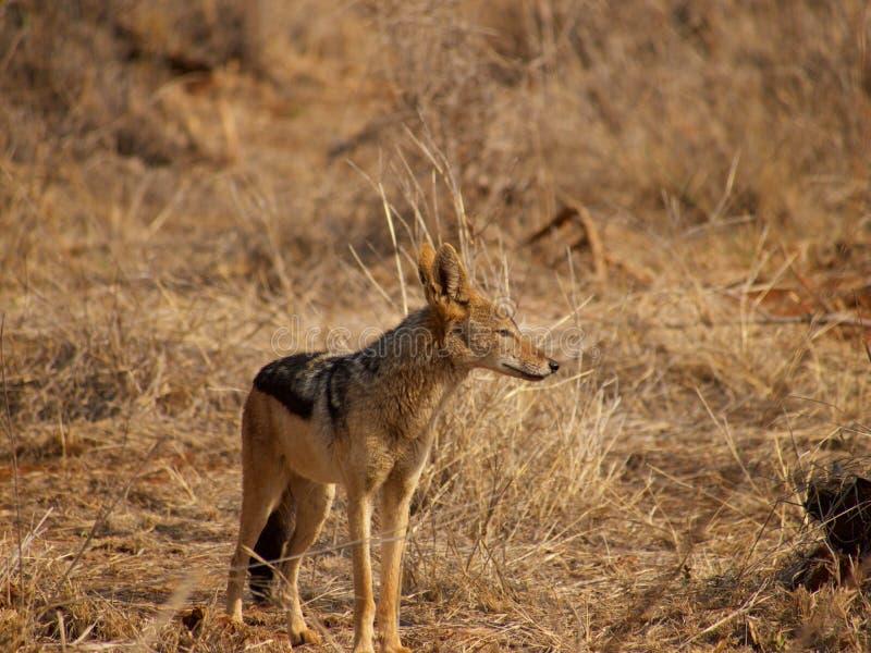 Black-backed jackal stock images