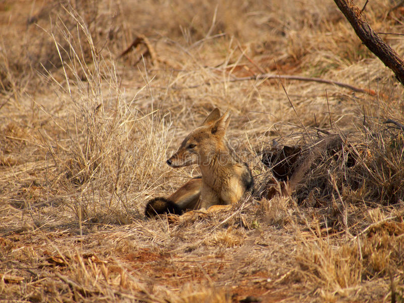Black-backed jackal royalty free stock photography