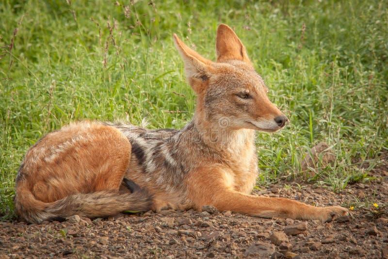 Black-backed jackal in the wild in Kwazulu Natal. Black-backed jackal in the wild in the Nambiti Game Reserve Kwazulu Natal royalty free stock images