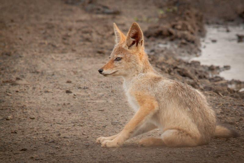 Black-backed jackal in the wild in Kwazulu Natal. Black-backed jackal in the wild in the Nambiti Game Reserve Kwazulu Natal stock photo