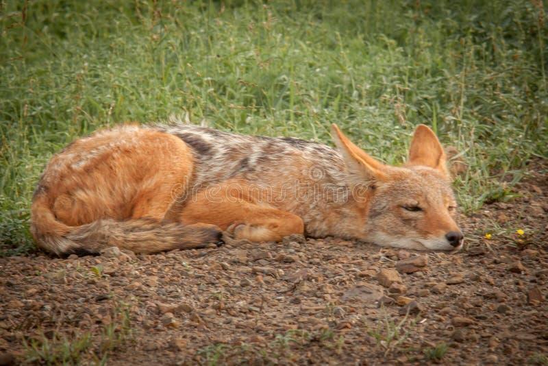 Black-backed jackal in the wild in Kwazulu Natal. Black-backed jackal in the wild in the Nambiti Game Reserve Kwazulu Natal stock photography