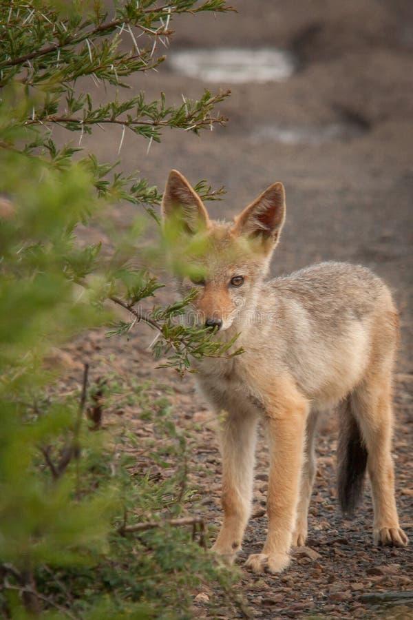 Black-backed jackal in the wild in Kwazulu Natal. Black-backed jackal in the wild in the Nambiti Game Reserve Kwazulu Natal royalty free stock photography