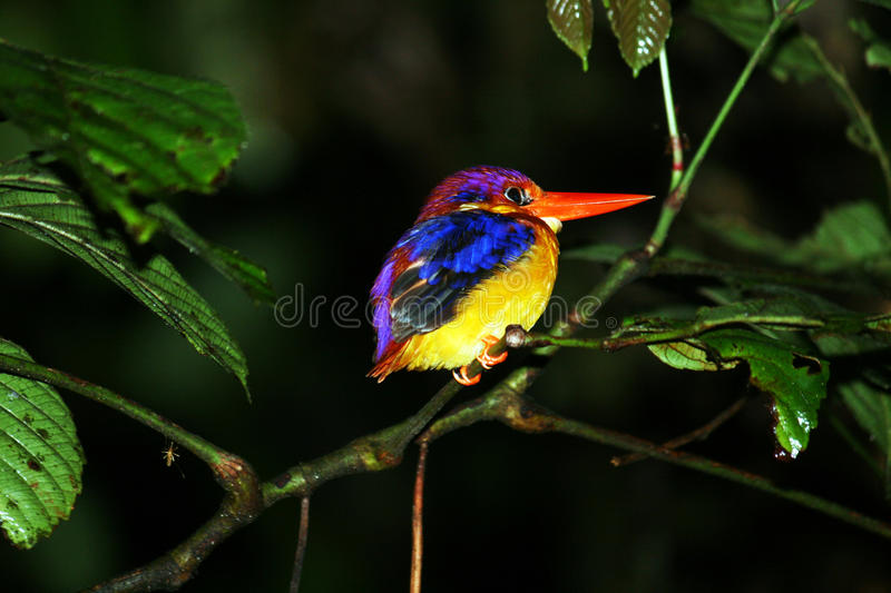 Download Black-backed kingfisher stock photo. Image of rain, black - 18034162