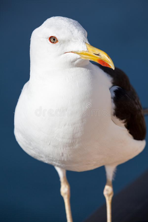Black-backed seagull portrait, head close-up view stock photos