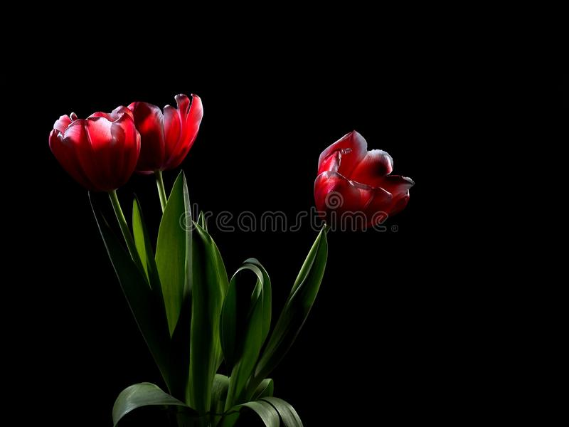 On a black background, in a glass vase for flowers is a bouquet of three tulips, presented to a beloved woman. Tulips glow, as if stock photos