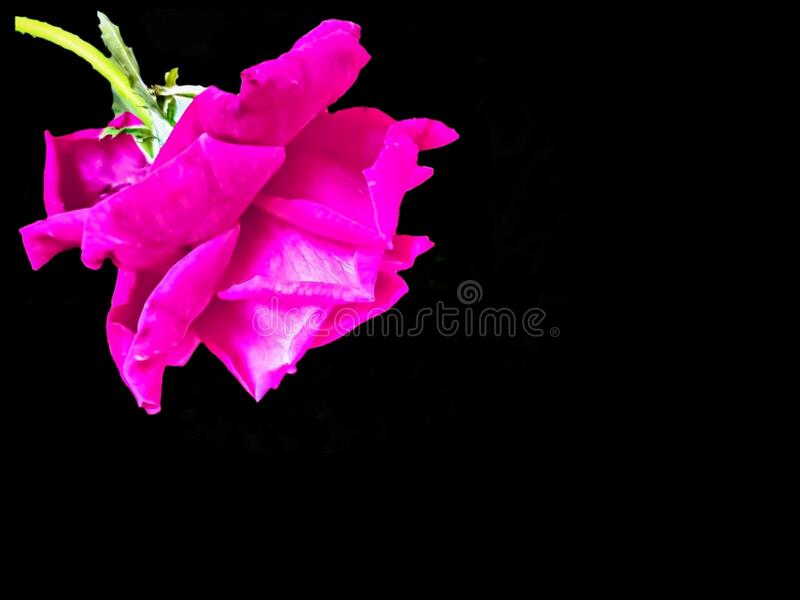 BLACK BACKGROUND WITH PINK ROSE PETALS FLOWER BLOSSOM ON CORNER CLOSEUP GARDEN NATURE royalty free stock photo