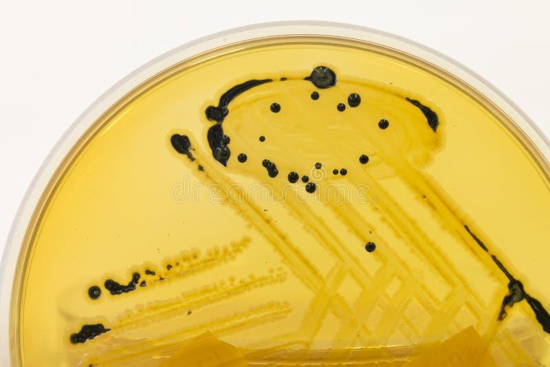 Image result for black bacteria