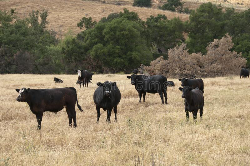 Black Baldy and Black Angus Cattle in a field stock photo