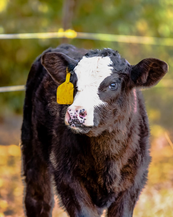 Black baldy calf with ear tag - vertical. Black baldy Angus crossbred calf with yellow ear tag - vertical format stock photo