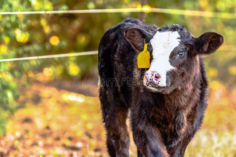 Black baldy calf - horizontal. Black baldy Angus crossbred calf with yellow ear tag and blank area to the left stock images
