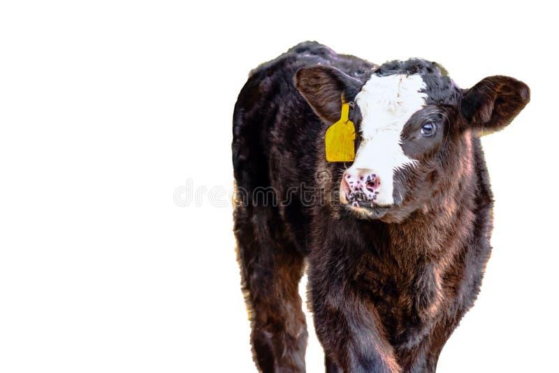 Black baldy calf - isolated royalty free stock photos