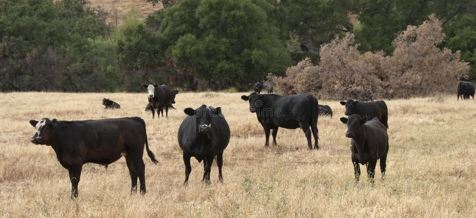 Black Baldy and Black Angus Cattle in a field stock images