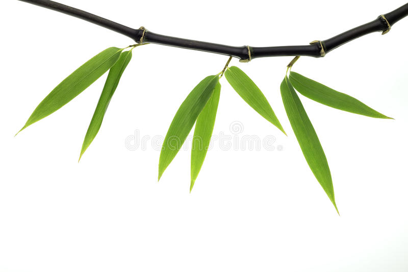 Black Bamboo. Steams and leaves stock image