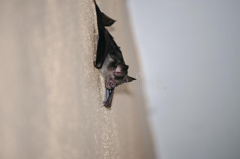 Black bat live in the house royalty free stock photo
