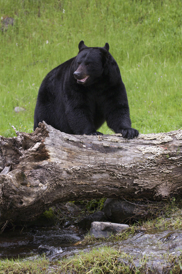 Black Bear. With big log tree stock photography