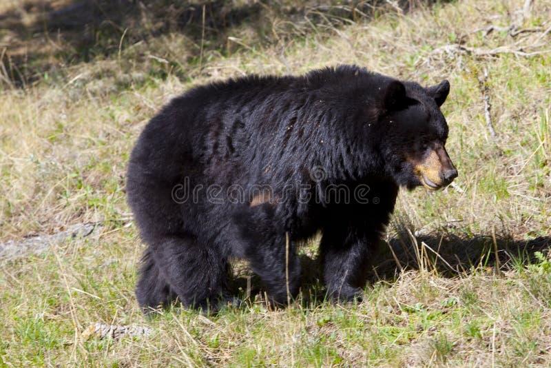 Download Black bear stock image. Image of fauna, nature, omnivore - 14368273