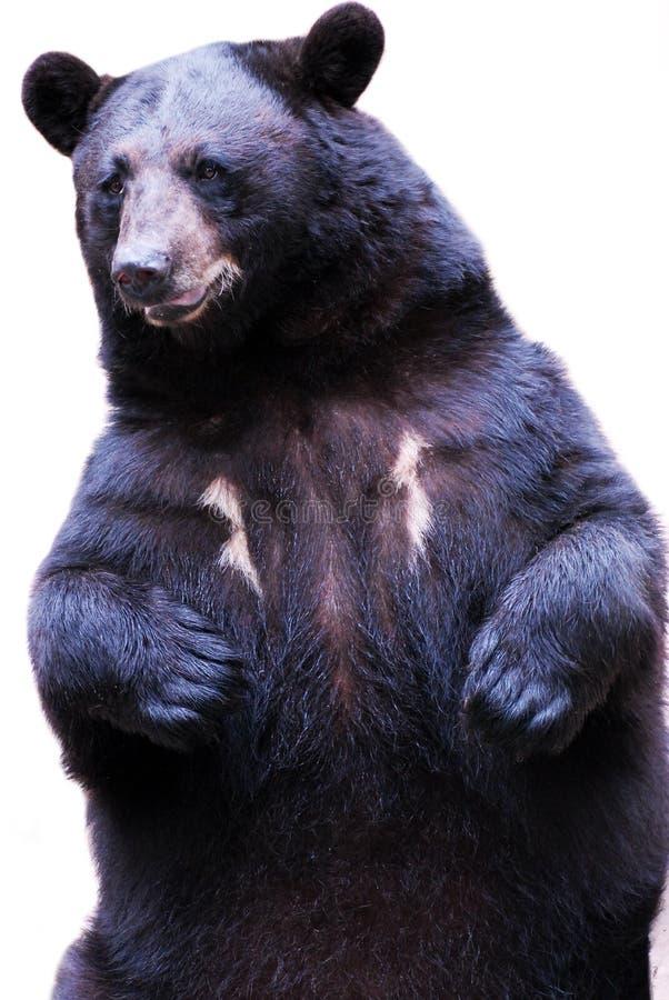 Free Black Bear Stock Photography - 14546142
