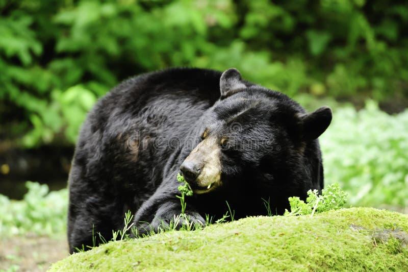 Download Black Bear stock image. Image of animal, eating, black - 20261417