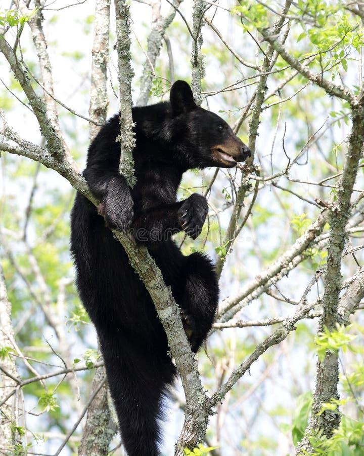 Download Black Bear stock image. Image of huge, sleeping, background - 24842189