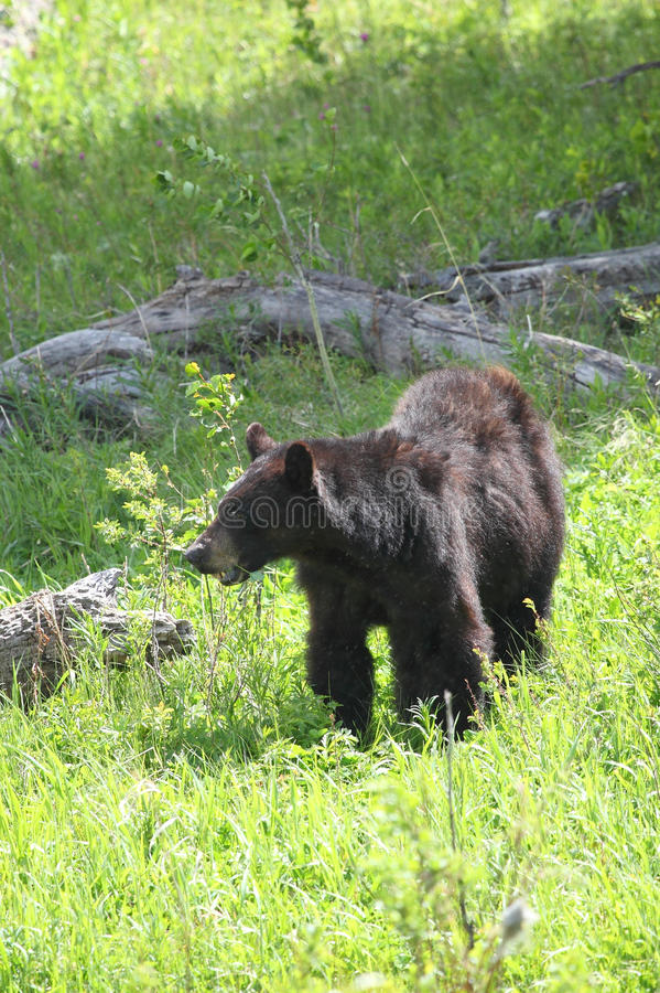 Download Black bear stock photo. Image of yellowstone, park, wild - 25480328