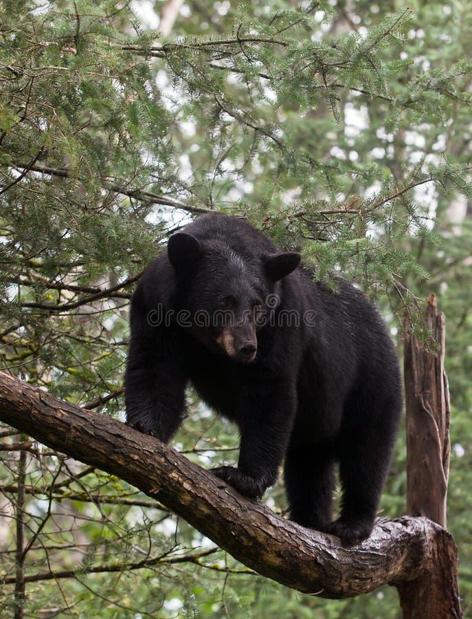 Free Black Bear Royalty Free Stock Photo - 26309145