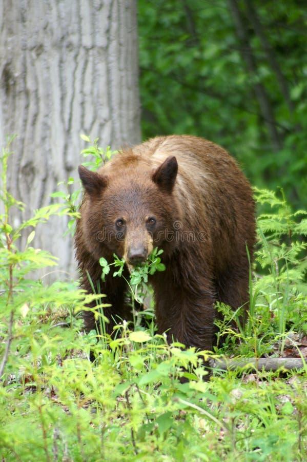 black bear obraz stock