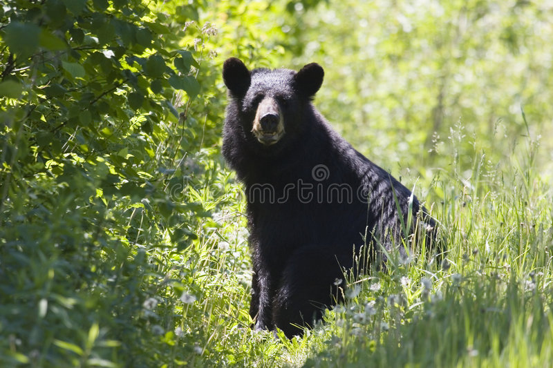 Download Black Bear stock image. Image of wild, trees, life, leaves - 875031