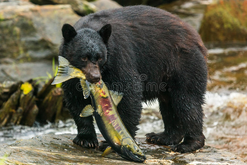 Black bear, Alaska stock photos