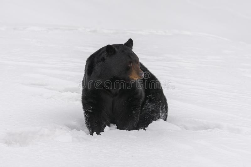 Black bear being caught in the snow royalty free stock images