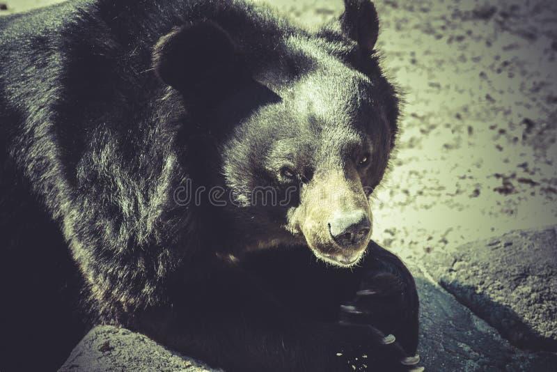 Black bear, big mammal, zoo scene. Wildlife Black bear, big mammal, zoo scene royalty free stock photos