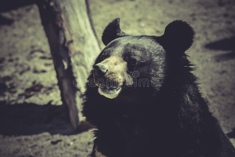 Black bear, big mammal, zoo scene. Wildlife Black bear, big mammal, zoo scene royalty free stock images