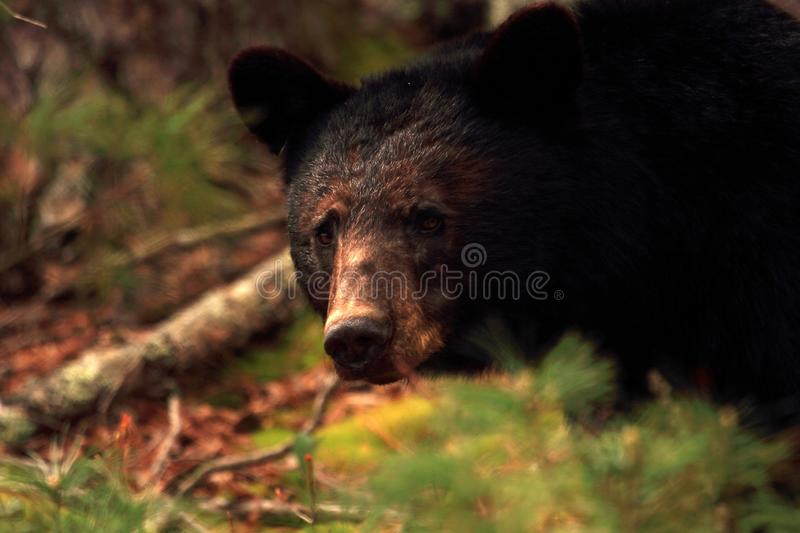 Black Bear in Cades Cove stock images