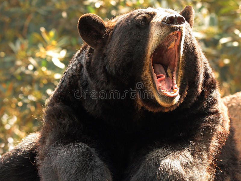 Black Bear. Close up portrait of American bear with open mouth royalty free stock photography