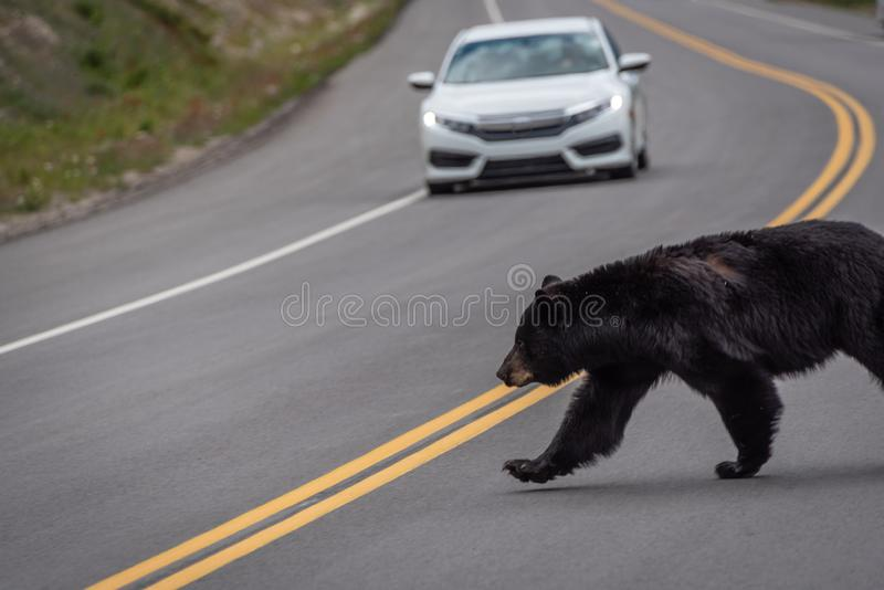 Black bear crossing the road in Jasper National Park. Car in background stock image