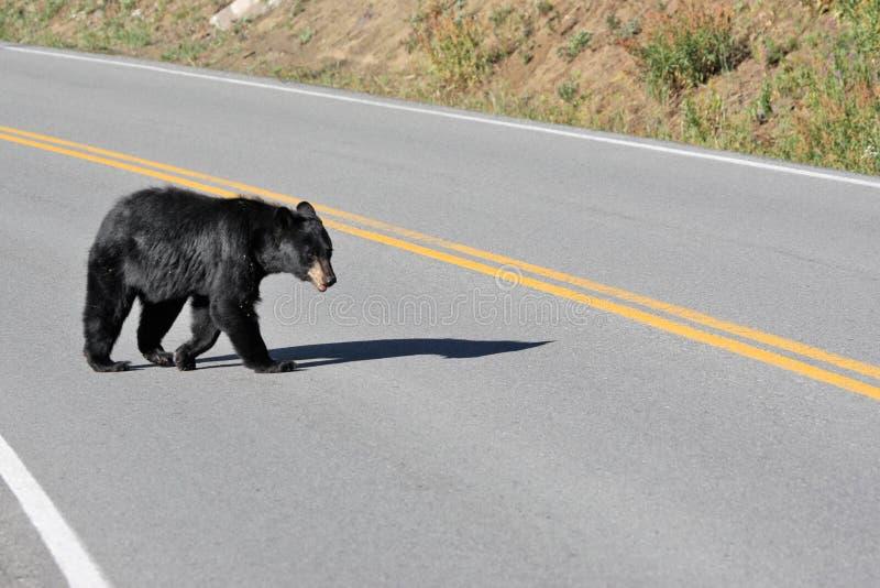 Black bear crossing road at Yellowstone National Park stock photos