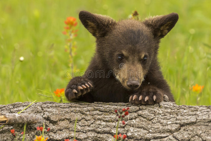 Download Black Bear Cub stock photo. Image of baby, black, young - 73613332